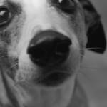 Nose of Dog