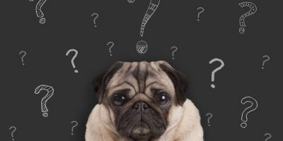 closeup of pug puppy dog sitting in front of blackboard sign with hand drawn chalk question marks